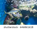 Small photo of African Pompano (Alectis ciliaris) at Aquarium.