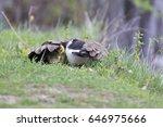 goose babies in spring  | Shutterstock . vector #646975666