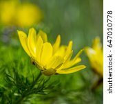 Small photo of Flower adonis spring on a blurred background on a sunny day