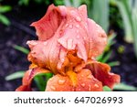 Bright Orange Iris With Rain...