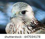 Close Up Of A Kestrel Looking