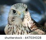 Close Up Of A Kestrel Facing...
