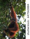 Small photo of Sumatran orangutans (Pongo abelii) eats fruit in Ketambe forest, Leuser National Park, Aceh Province, Indonesia on May 7, 2017.