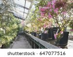 Flowering Of Rhododendrons In...