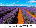 Bride-stowe Lavender Estate, Tasmania, Australia: December 2016,12. Beautiful scenery of pure Lavender from Tasmania
