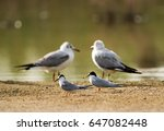 Small photo of Little Terns and Black-headed gulls