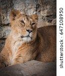 portrait of a beautiful lion... | Shutterstock . vector #647108950