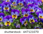 Close Up Of Colorful Violet...