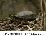 A Red Eared Slider Turtle ...