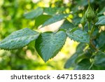Green Leaf Of Young Rose With...