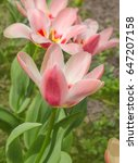 Two Tone Tulip A Blend  Pink...