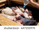 pigs  market  drink water from... | Shutterstock . vector #647253970