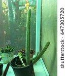 cactus spike in pot decorative... | Shutterstock . vector #647305720