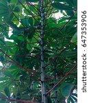 cassava | Shutterstock . vector #647353906