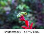 Red Eyed Tree Frog Is Ready To...
