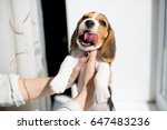 beagle puppy showing his tongue | Shutterstock . vector #647483236