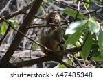 wild rhesus macaque monkey on