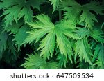 garden plants. lavish foliage... | Shutterstock . vector #647509534
