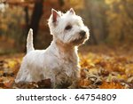 West Highland White Terrier  ...