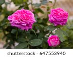 Stock photo rose flower in the garden 647553940