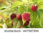 raspberry plant   raspberry bush | Shutterstock . vector #647587300