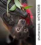 A Black Flying Fox Licking...