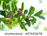 "thai fruit ""carandas plum"" in... | Shutterstock . vector #647653678"