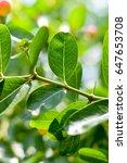"thai fruit ""carandas plum"" in... | Shutterstock . vector #647653708"