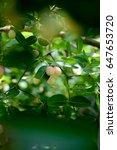 "thai fruit ""carandas plum"" in... | Shutterstock . vector #647653720"