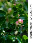 "thai fruit ""carandas plum"" in... | Shutterstock . vector #647653774"