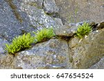 Fern Growing In Rock Crevices...