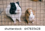 Guinea Pigs In A Cage Close Up...
