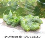 Small photo of Freshwater algae.Algae contain chlorophyll.unterwater,caquatic plant,hydrophyte