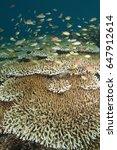 Small photo of Scalefin anthiases, Pseudanthias squamipinnis, over Acropora corals, Komodo Indonesia.