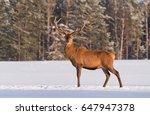 great deer stag   cervus... | Shutterstock . vector #647947378