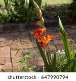Gladiolus Or Sword Lily  A...
