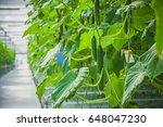 Cucumber Farm Greenhouse
