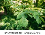Small photo of Close-up Of Leaf Leaves On Branch Of Green Alder Or Alnus Viridis Tree Growing In Sunny Spring Summer Forest Park.