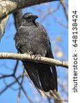 Small photo of American Crow (Corvus brachyrhynchos) Perched on a limb. Close up Portrait