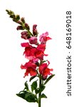 Snapdragon Flower Isolated On...