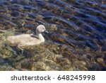 One Cygnet Swimming In Clear...