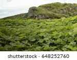 Rhubarb Plants In The Wild