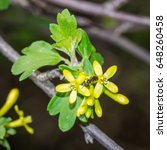 Small photo of Blooming golden currant (ribes aureum), Samara region, May 2017
