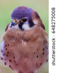 Small photo of An American Kestrel