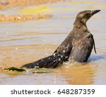 Female Grackle Bathing In The...