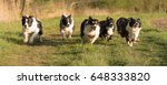 Stock photo many dog racing over a meadow six border collies 648333820