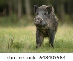 A Large Boar Stops  Cautiously...