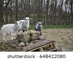 Two Month Old G Inge Goats...