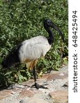 Small photo of The African sacred ibis, Threskiornis aethiopicus, was almost extinct in nature