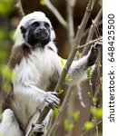 Cotton Top Tamarin  Saguinus O...